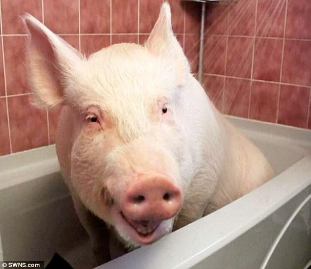 esther-pig