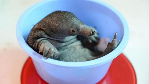 baby-echidna