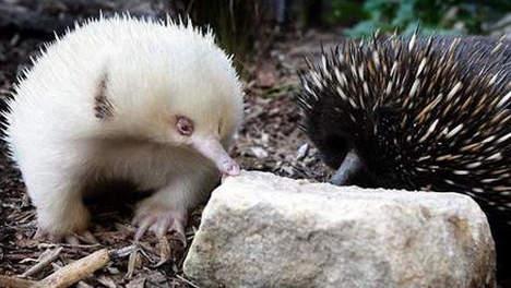 echidne-albinos-normal