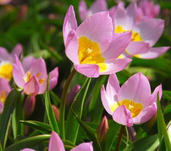 tulip_bakeri_lilac_wonder_1