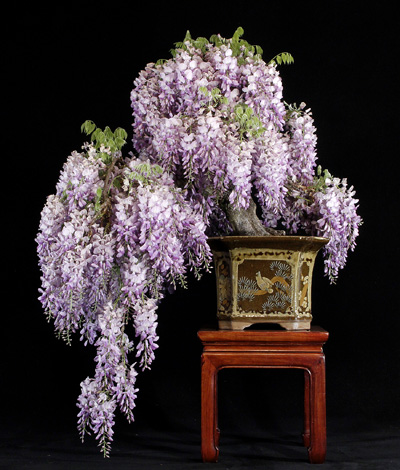 bonsai-glycine