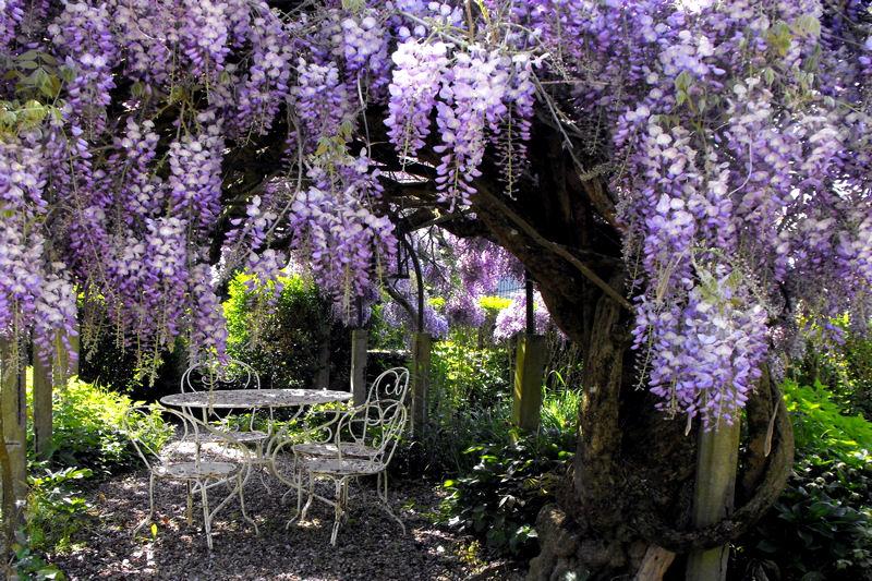 jardin glycines de chine et du japon l invitation au voyage l 39 effet colibri the. Black Bedroom Furniture Sets. Home Design Ideas