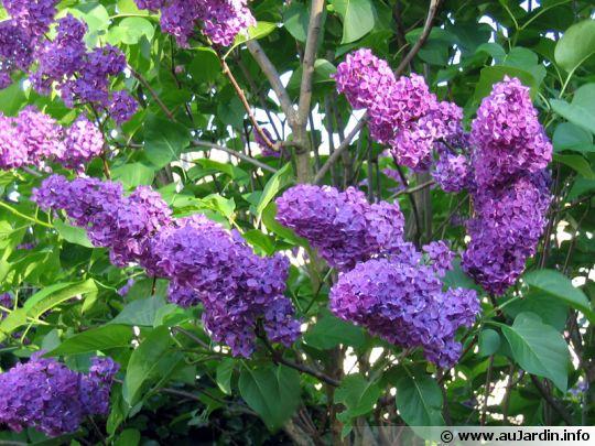 Jardin lilas commun et lilas des indes l 39 effet colibri - Le lilas des indes ...