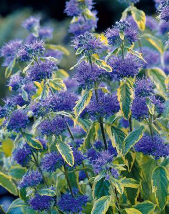 caryopteris-x-clandonensis-white-surprise