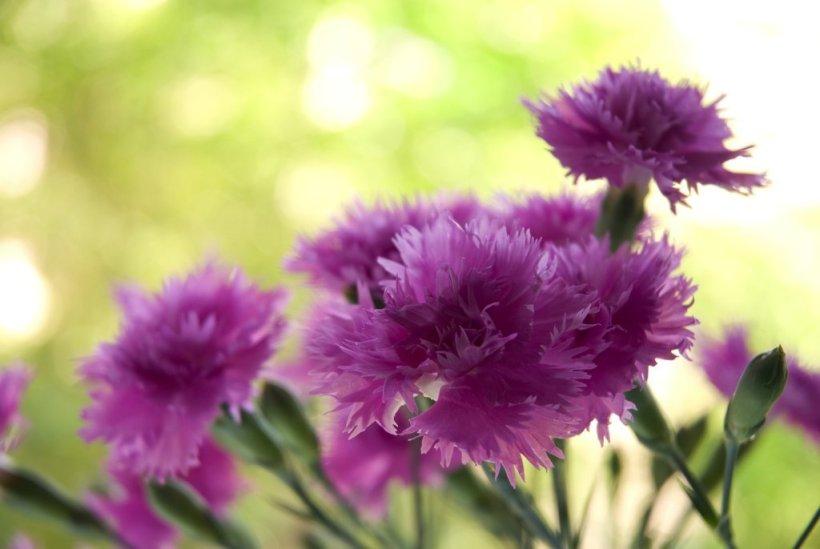 featheered-carnation