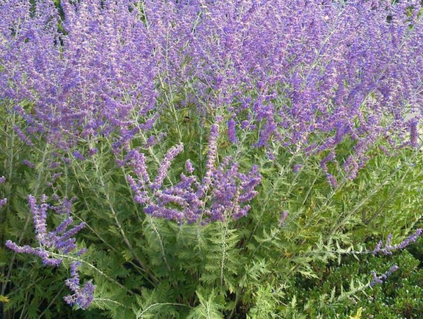 Jardin lavandes les vraies et les fausses l 39 effet colibri the hummingbird effect - Planter de la sauge ...