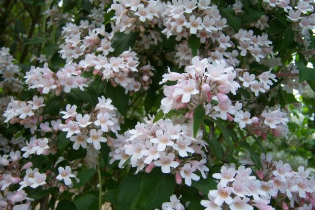 Kolkwitzia-amabilis-Pink-Cloud