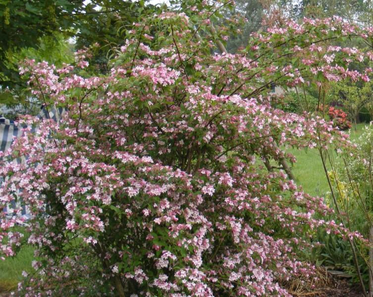 kolkwitzia-amabilis-pinkcloud_2