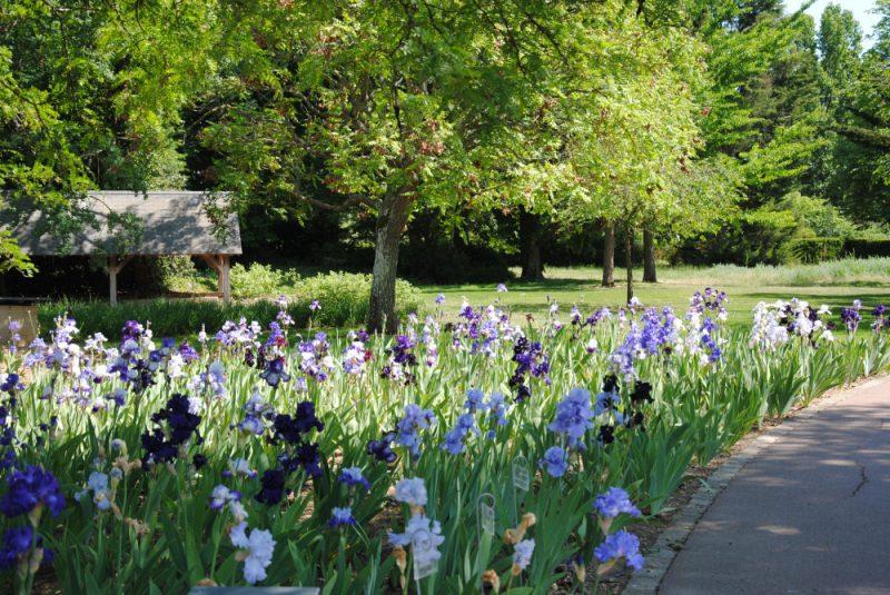 iris-orleans
