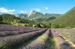 lavender-alps