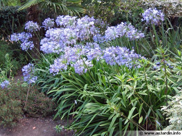 jardin-agapanthe