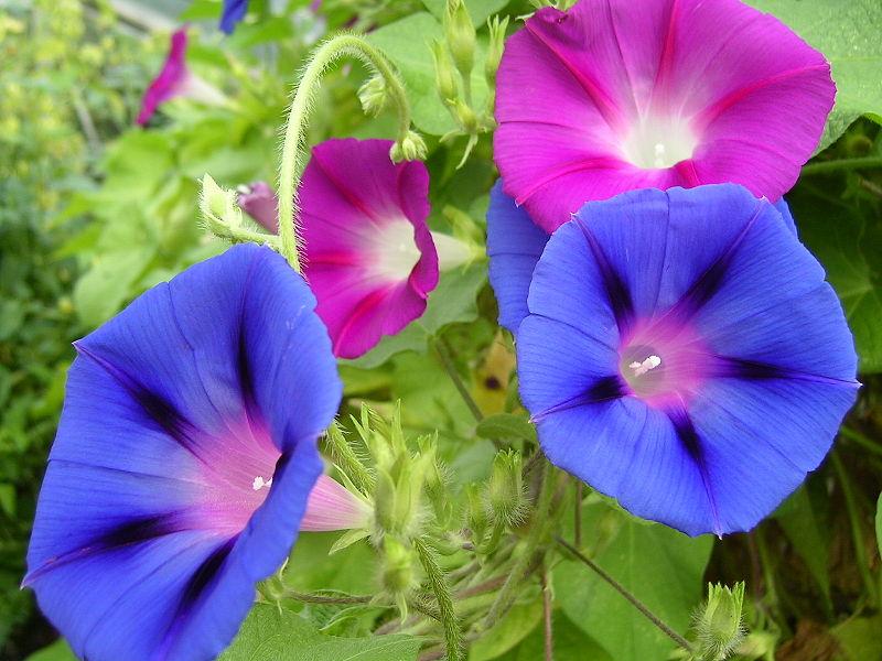jardin-ipomee