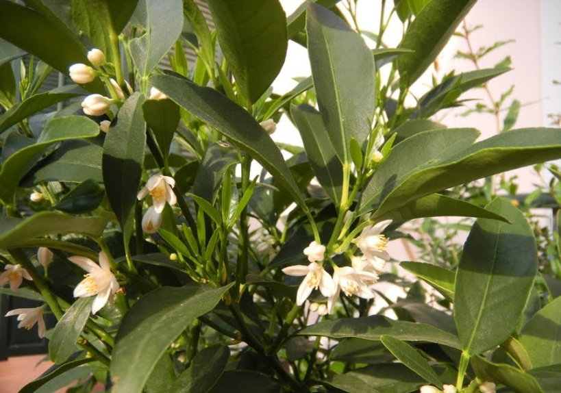 jardin-orient-kumquat