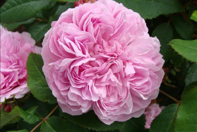 rose-j-cartier