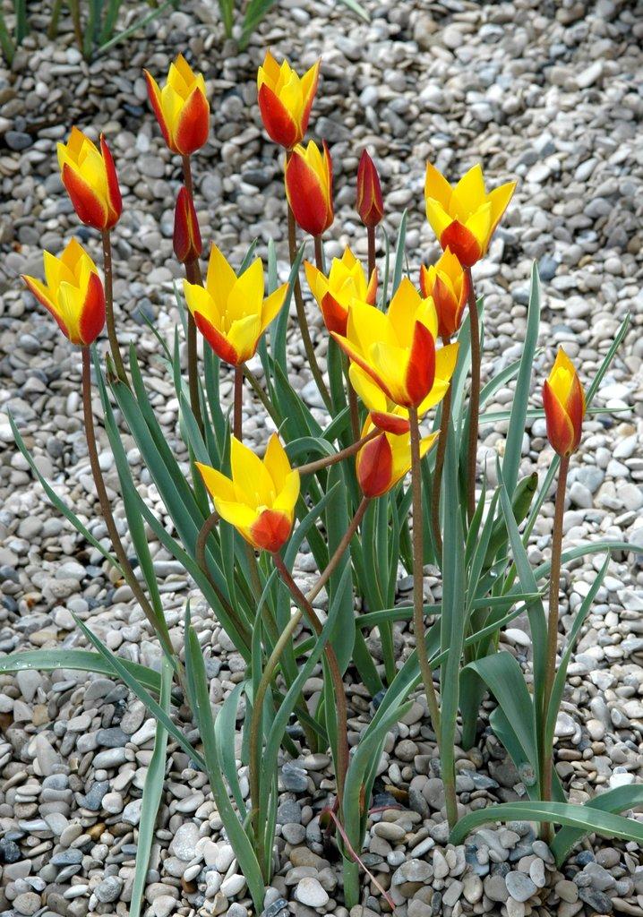 tulipe-orient